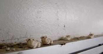 Po 25 latach tylko nieliczne świnki nadal pilnują porządku w HMF (Jen Scheer)