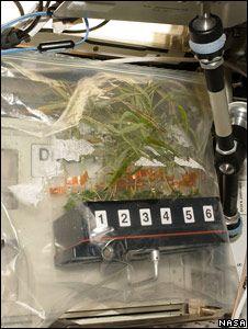 Pędy młodej wierzby wyhodowane na stacji ISS / Credits: BBC