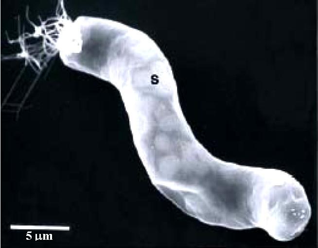Bakteria Titanospirillum Velox, podobna do struktury z Ivuny / Credits: Riccardo Guerrero
