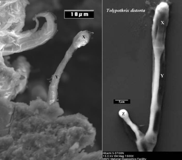 Struktura z meteorytu Orgueil (po lewej) i bakteria Tolypothrix distorta w kulturze hodowlanej / Credits: NASA & Musée Nationale d'Histoire Naturelle
