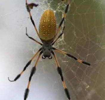 Samica Nephila clavipes na swojej sieci. (Credits: Danielle Anthony, NASA)