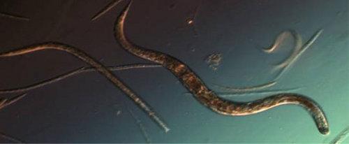 Nicienie C. elegans. Najprawdopodobniej będą pierwszymi eksploratorami na Marsie, ze względu na łatwość w badaniu ich procesów życiowych. Credit: NASA