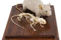 Szkielet myszy. Naukowcy z zespołu UNC/NCSU pod przewodnictwem Teda Batemana, prowadząc badania na myszach wysłanych w kosmos, starają się odnaleźć skuteczne lekarstwo na osteoporozę. Oprócz astronautów udających się w dalekie podróże, na przykład na Marsa, terapia może pomóc czterdziestu milionom chorych lub z ryzykiem choroby na osteoporozę na Ziemi. [Credits: 3B Scientific]