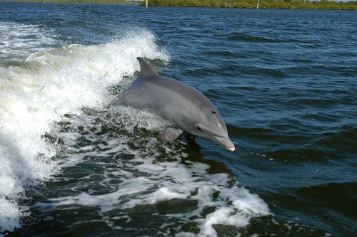 Współczynnik encefalizacji (EQ – stosunek masy mózgu do całego ciała) człowieka wynosi 7,44. Zaraz za nim znajduje się delfin amazoński o EQ równym 4,56 i delfin butlonosy – 4,14. Szympansy są daleko w tyle (2,49). Z neurofizjologicznego punktu widzenia, delfiny są drugimi, po człowieku, najinteligentniejszymi istotami na Ziemi. Credits: NASA