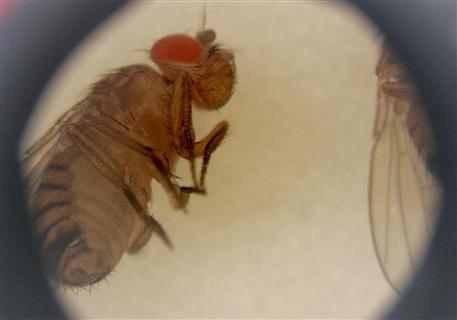 Muszka owocówka - Drosophila melanogaster – obserwowana pod mikroskopem Life Sciences Lab w Kennedy Space Center na Florydzie. (Credits: John Rogers)