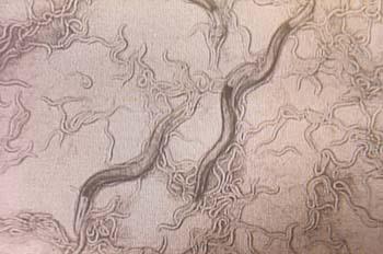 Obraz spłaszczonych nicieni C. elegans. (Credits: NASA Ames)