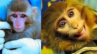 Porównanie zdjęć małp przed (po lewej) i po (po prawej) locie suborbitalnym.
