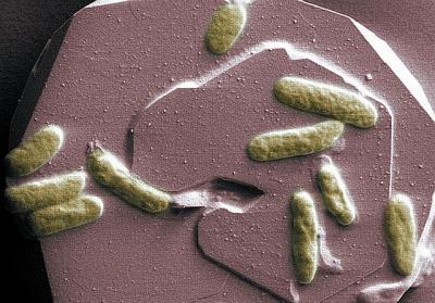 Bakteria Shewanella oneidensis - jeden z gatunków ziemskich piezofili, zdolna do pożywiania się na toksycznych metalach (na zdjęciu kolonia rosnąca na tlenku żelaza, czyli hematycie). Credits: Pacific Northwest National Laboratory