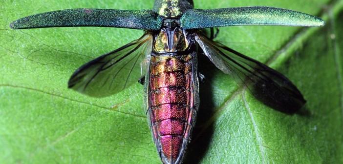 Chrząszcz z rodziny bogatkowatych Agrilus planipennis atakujący jesiony w Stanach Zjednoczonych. Jest gatunkiem inwazyjnym, przywleczonym z Azji. Credits: Bugwood.org