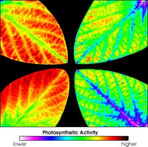 Pomiaru fluorescencji fotosyntetycznej liści na przykładzie liście soi poddawanej różnym stężeniom ozonu w powietrzu. Dwa liście po lewej, to próbka odniesienia. Dwa po prawej rosną w atmosferze z podwyższonym stężeniem ozonu. Widoczne jest zmniejszona efektywność fotosyntezy, szczególnie w obszarach oznaczonych kolorem niebieskim i fioletowym / Credit: Kim, M.S., McMurtrey, J.E., Mulchi, C.L., Daughtry, C.S.T., Chappelle, E.W., and Chen, Y.R. Steady-state multispectral fluorescence imaging system for plant leaves. Applied Optics, 40:157-166. 2001