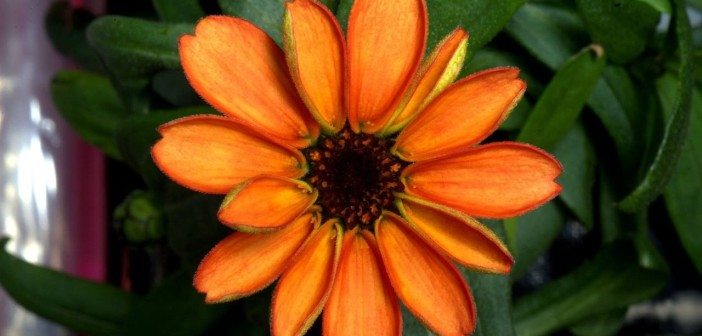 Kwiat cynii, który zakwitł na ISS / Credits - NASA, Scott Kelly