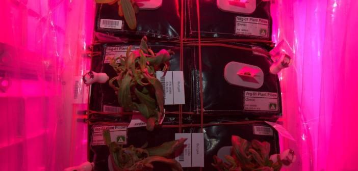 Rośliny Cynii uprawiane na ISS w ramach eksperymentu Veg-01 / Credits - NASA, Scott Kelly