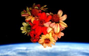 Kwiaty cynii, które wyrosły na pokładzie ISS - zdjęcie z 14 lutego 2016 / Credits - NASA, Scott Kelly