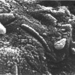 Potencjalny ślad marsjańskiego życia bakteryjnego w meteorycie ALH84001 / Credits - David McKay, NASA